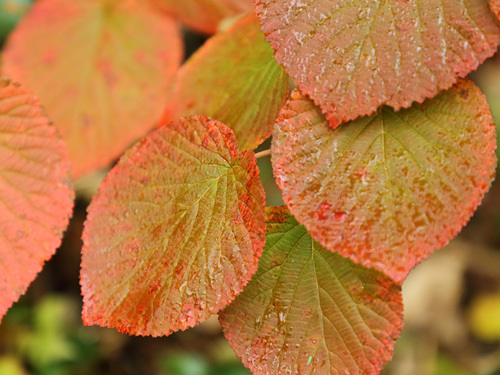 栂池自然園の紅葉は色付き半ば